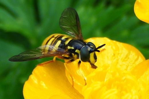 Intepatura de viespe patrunjel
