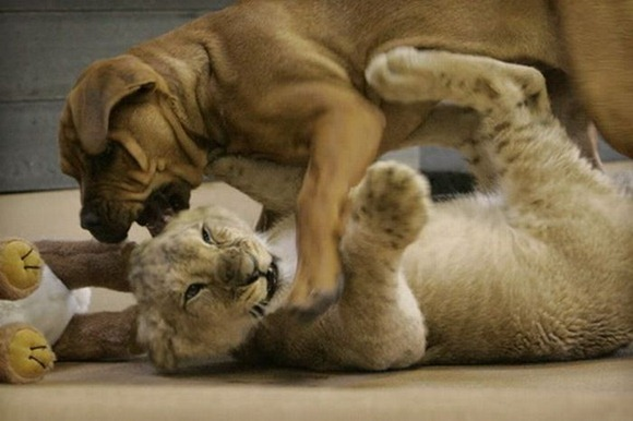 baby_lion_01