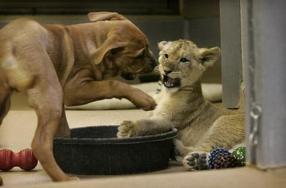 baby_lion_03