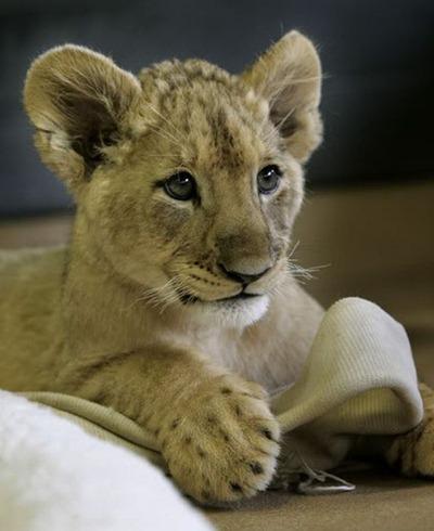 baby_lion_08