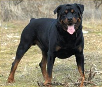 Rottweiler-picture