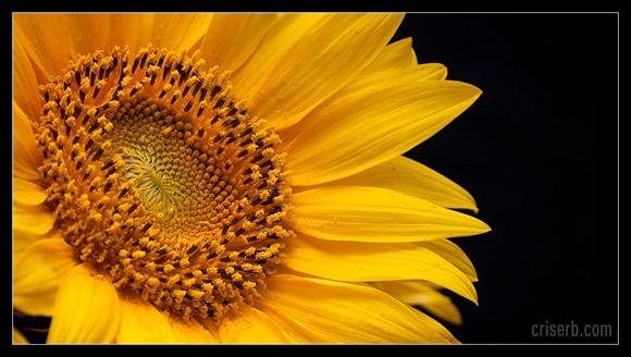 floareasoarelui