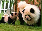 Chow Chow dogs, dyed to look like pandas, play at the Dahe Pet Civilization Park in Zhengzhou, Henan province June 8, 2010. The park bought four dyed Chow Chows and a Golden Retriever, dyed to resemble a tiger, from a pet market in Sichuan as an attempt to attract visitors, local media said. REUTERS/Donald Chan (CHINA - Tags: ANIMALS SOCIETY IMAGES OF THE DAY)