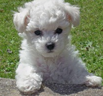 bichon-frise-puppies
